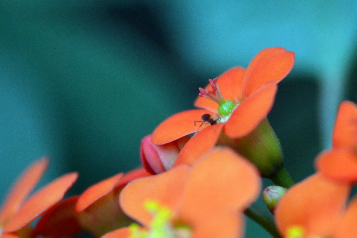Orange flower/ant