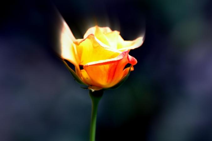 Backyard rose